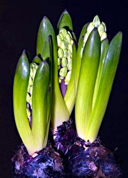 Hijacinta - popki