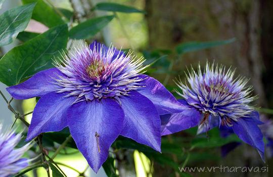 Cvetoči srobot modre barve