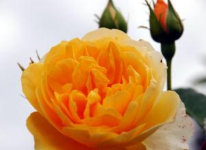 Cvet vrtnice - oranžen