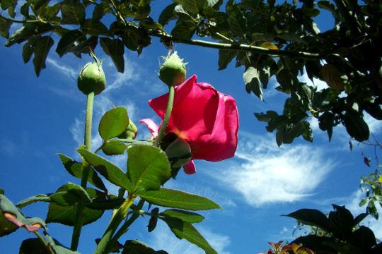 Cvet in popki vrtnice