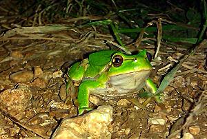Žaba v vrtu