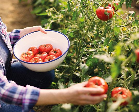Obiranje paradižnika