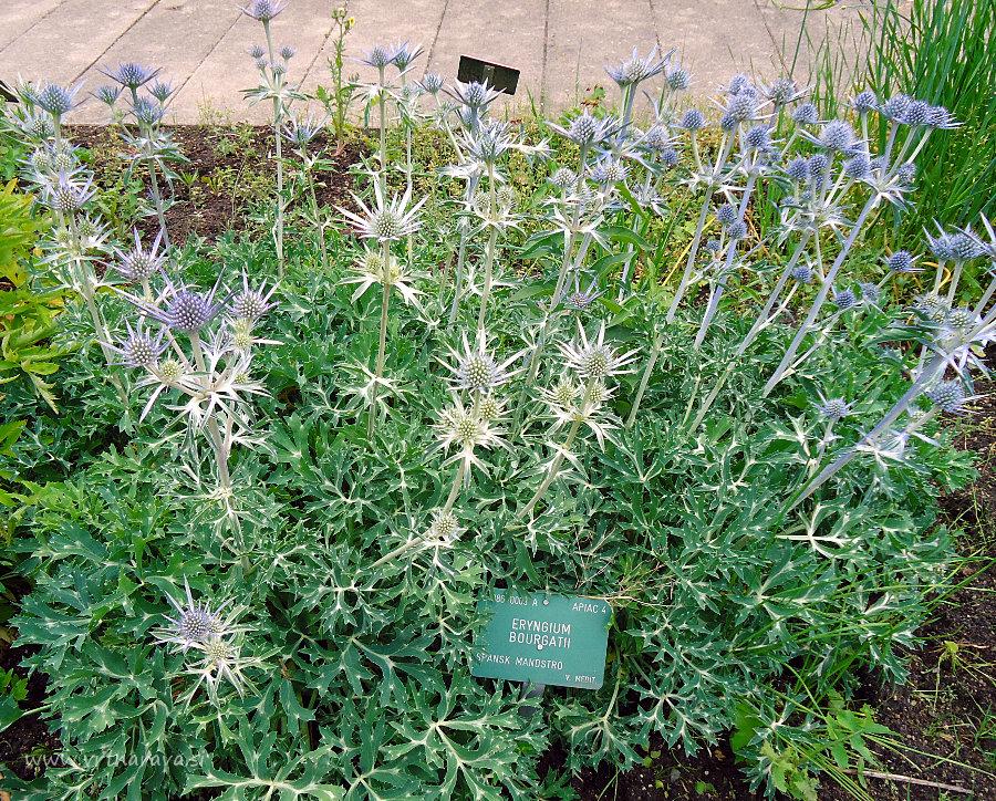 Bourgatijeva možina - Eryngium bourgatii