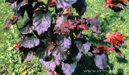 Fagus sylvatica 'Purpurea Nana'