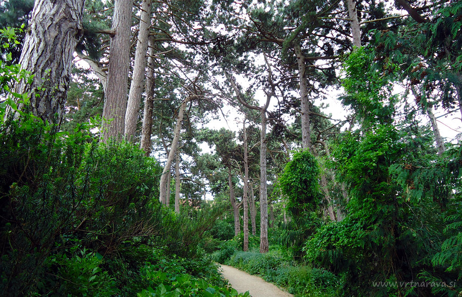 Zbirka borov v botaničnem vrtu Kobenhavn