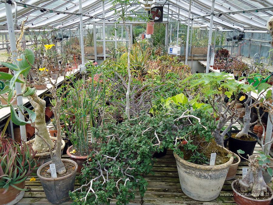 Kaktusi in sočnice v botaničnem vrtu Kopenhagen