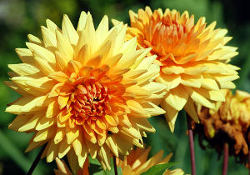 cvetoča dalija