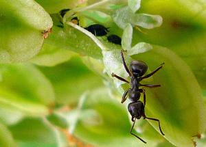 Mravlja na cvetu