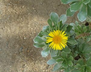 cvatuča biljka